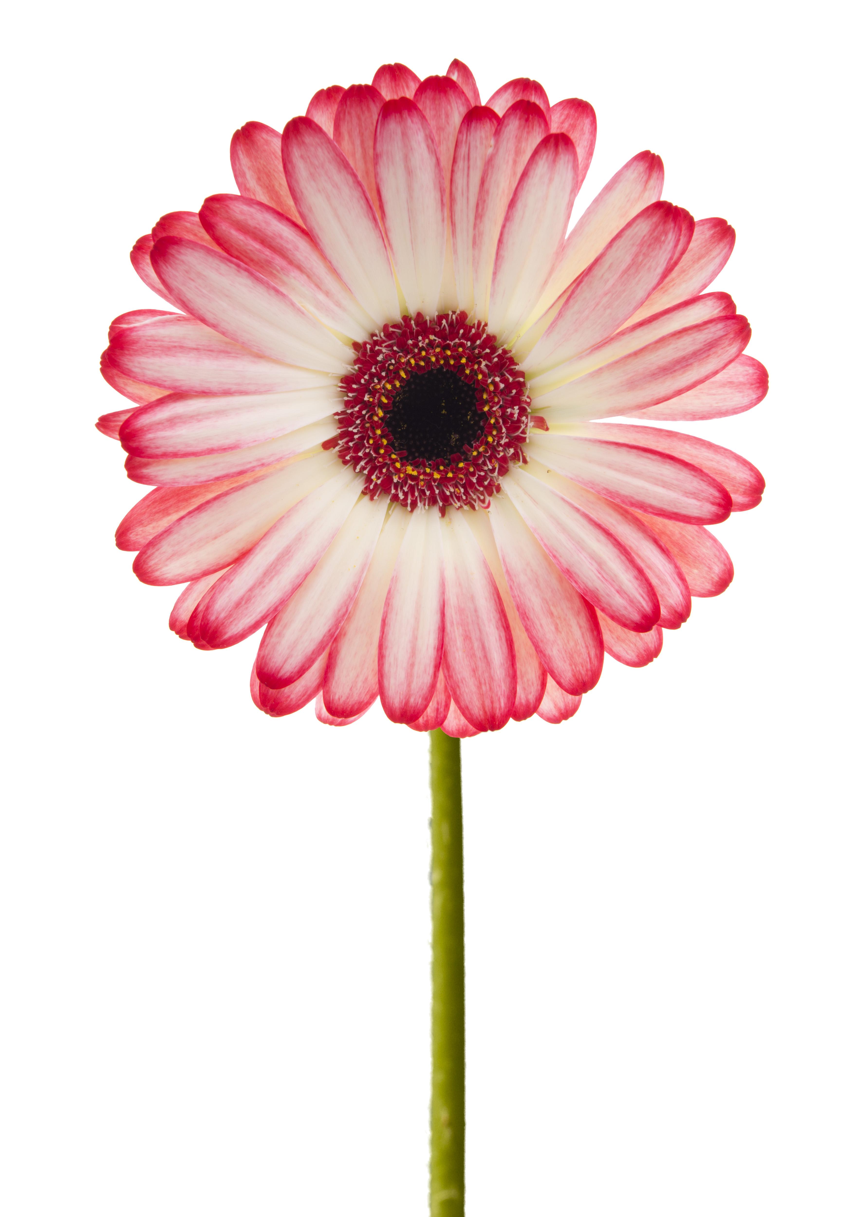 File Pink Gerbera 5888414978 Jpg Wikimedia Commons