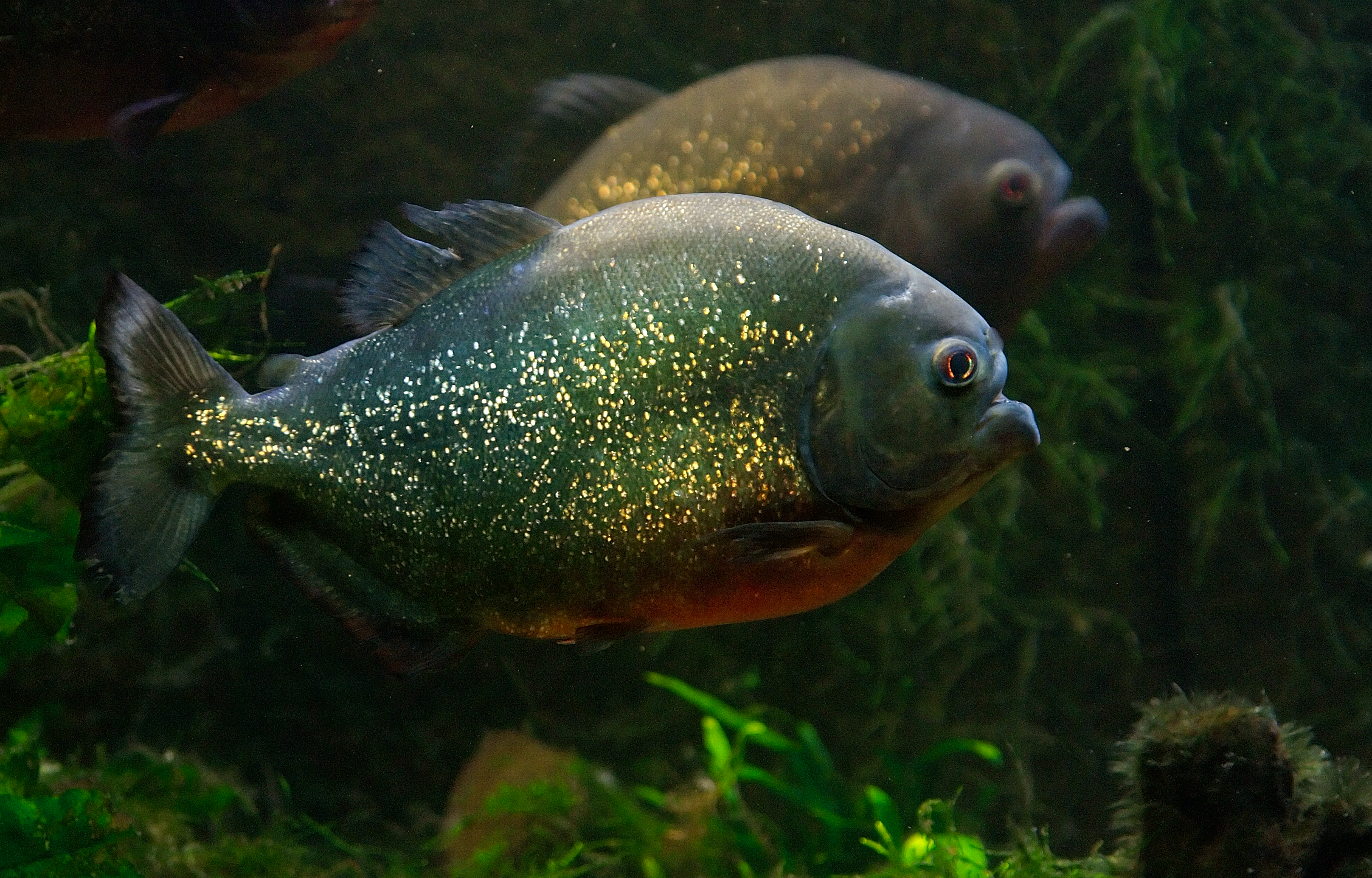 File piranha luc wikimedia commons for Pictures of piranha fish