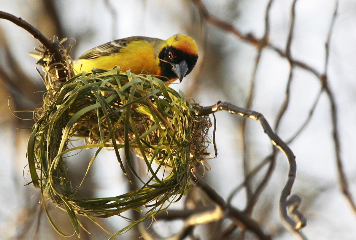 do male birds make nests