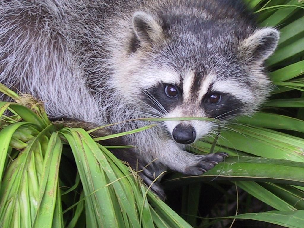 Can A Racoon Eat Canned Cat Food