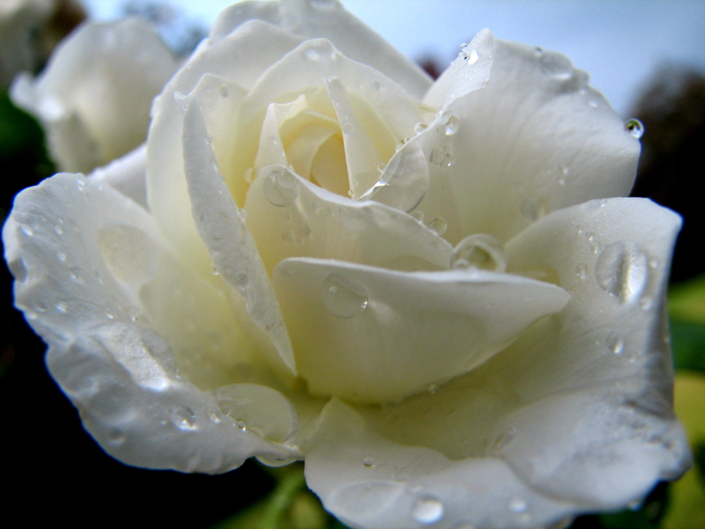 File Raindrops And The White Rose 216495883 Jpg Wikimedia Commons