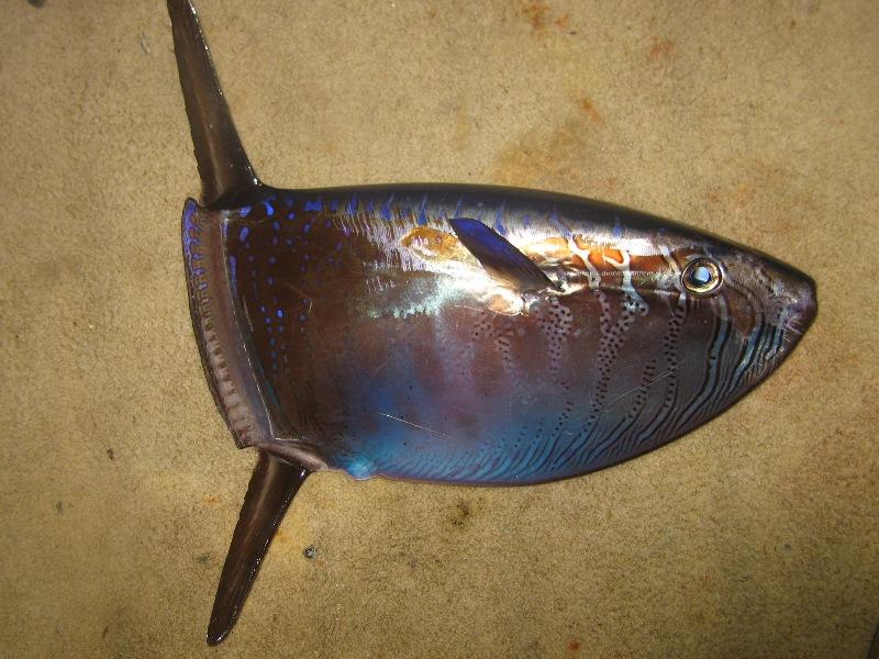 Image result for slender sunfish
