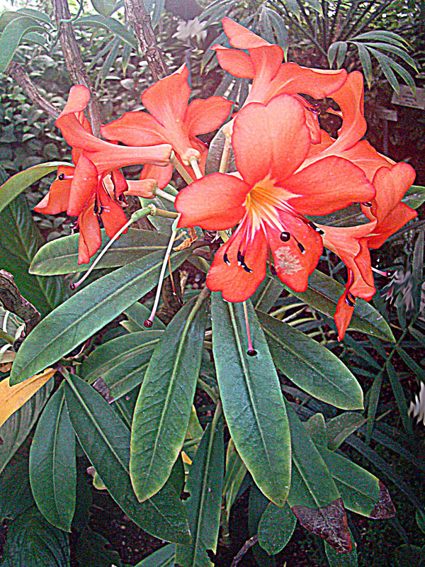 rhododendron sect. vireya  wikipedia, Beautiful flower