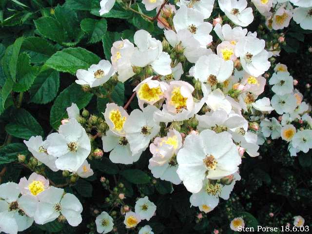Image:Rosa-multiflora01.jpg