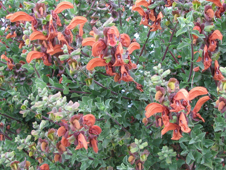 Datei Salvia Africana Lutea Jpg Wikipedia