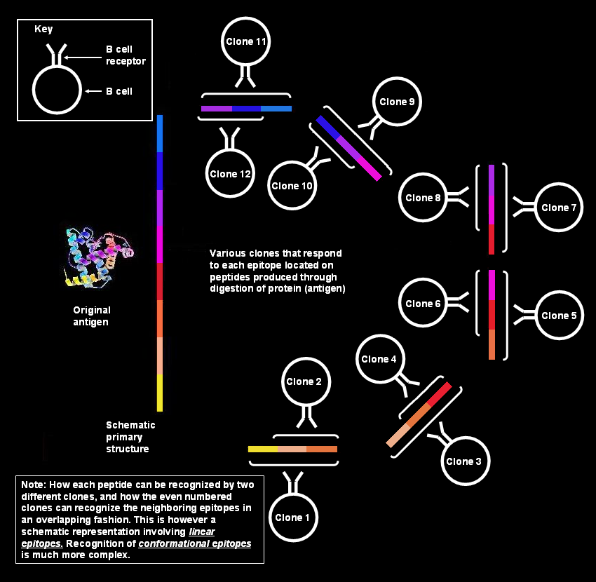 Polyclonal B cell resp...