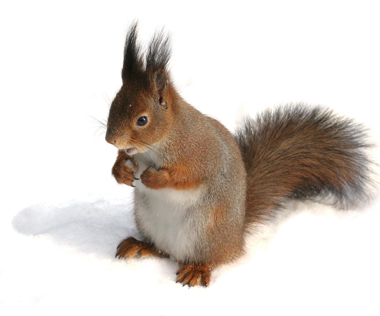 File Sciurus Vulgaris In Snow Helsinki Finland White