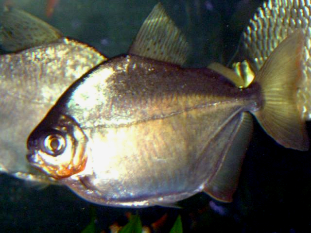 Image gallery silver piranha for Silver dollar fish for sale