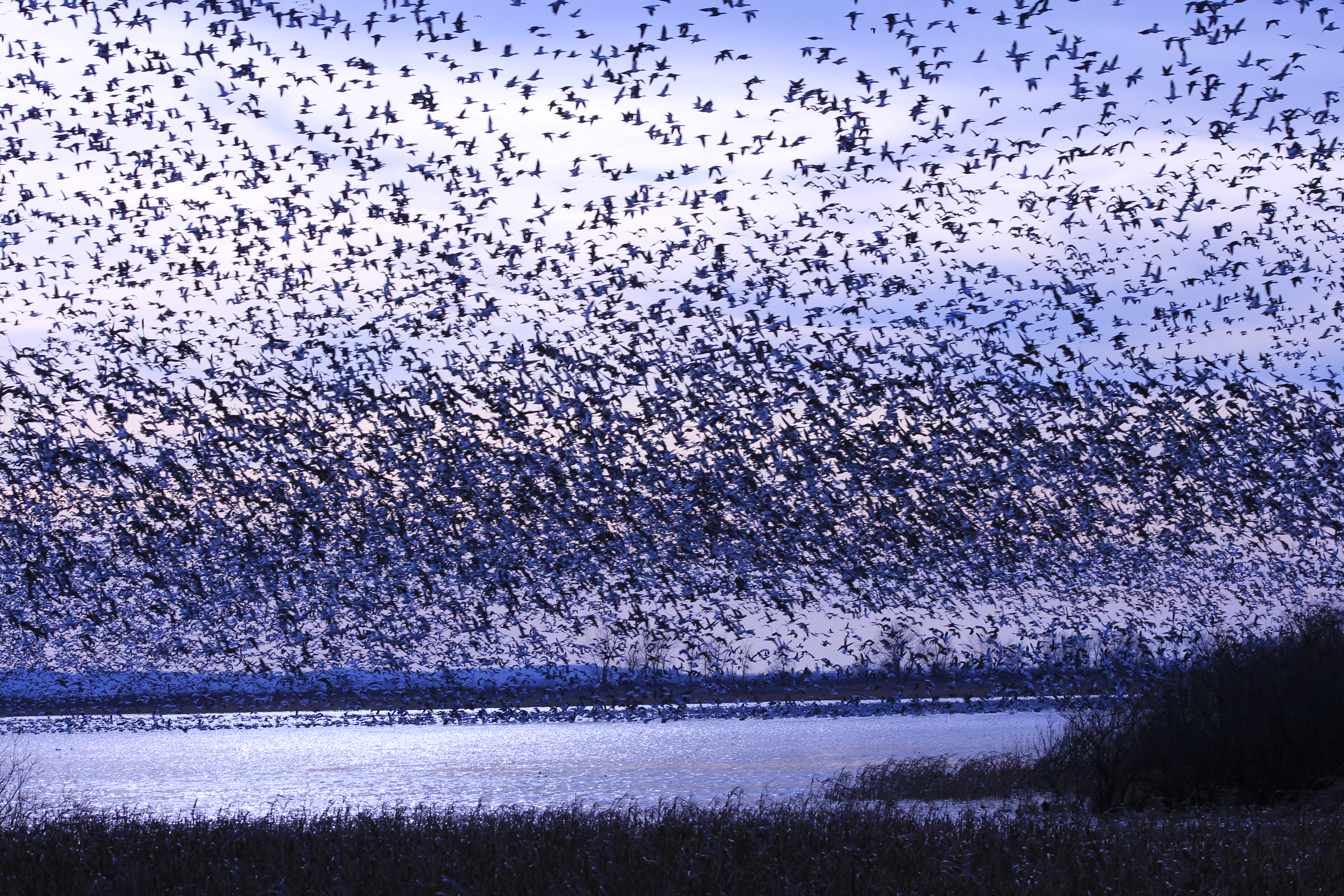 File Snow Goose Migration At Squaw Creek National Wildlife
