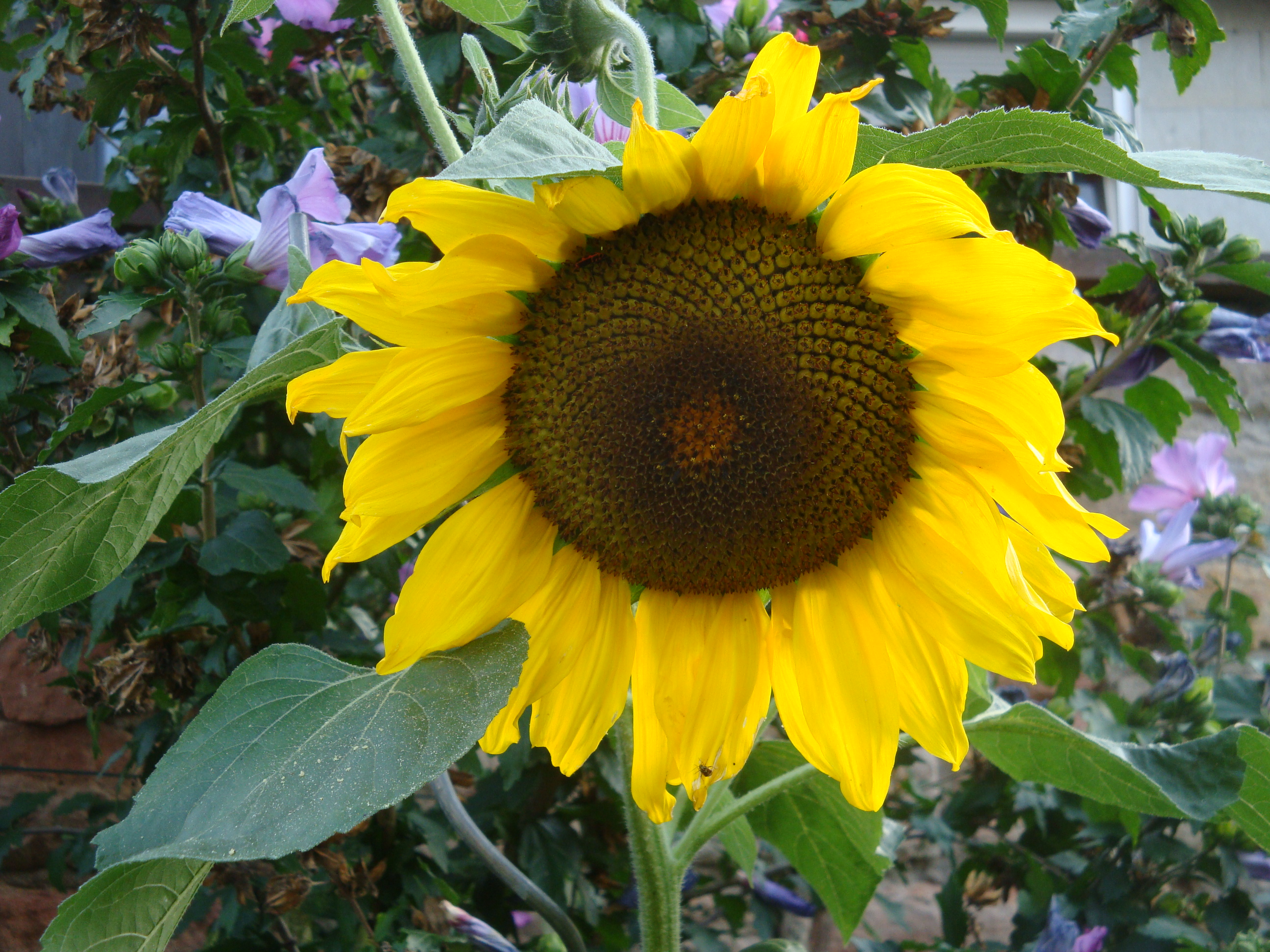 Blütezeit Sonnenblume