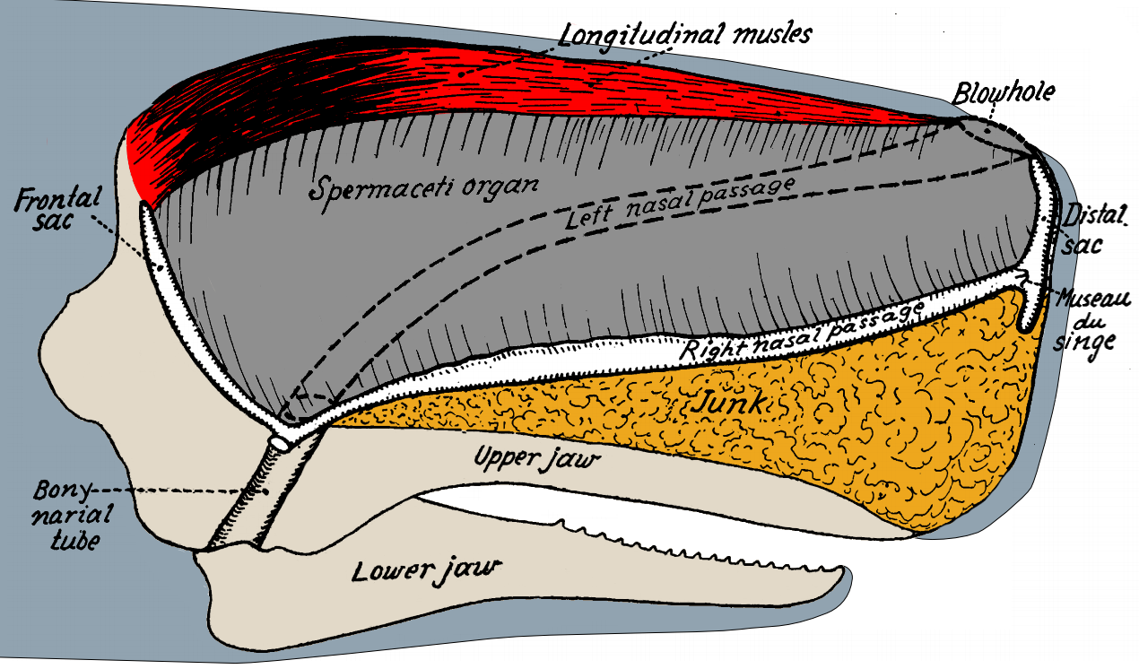 File:Sperm Whale Head Anatomy.png - Wikimedia Commons