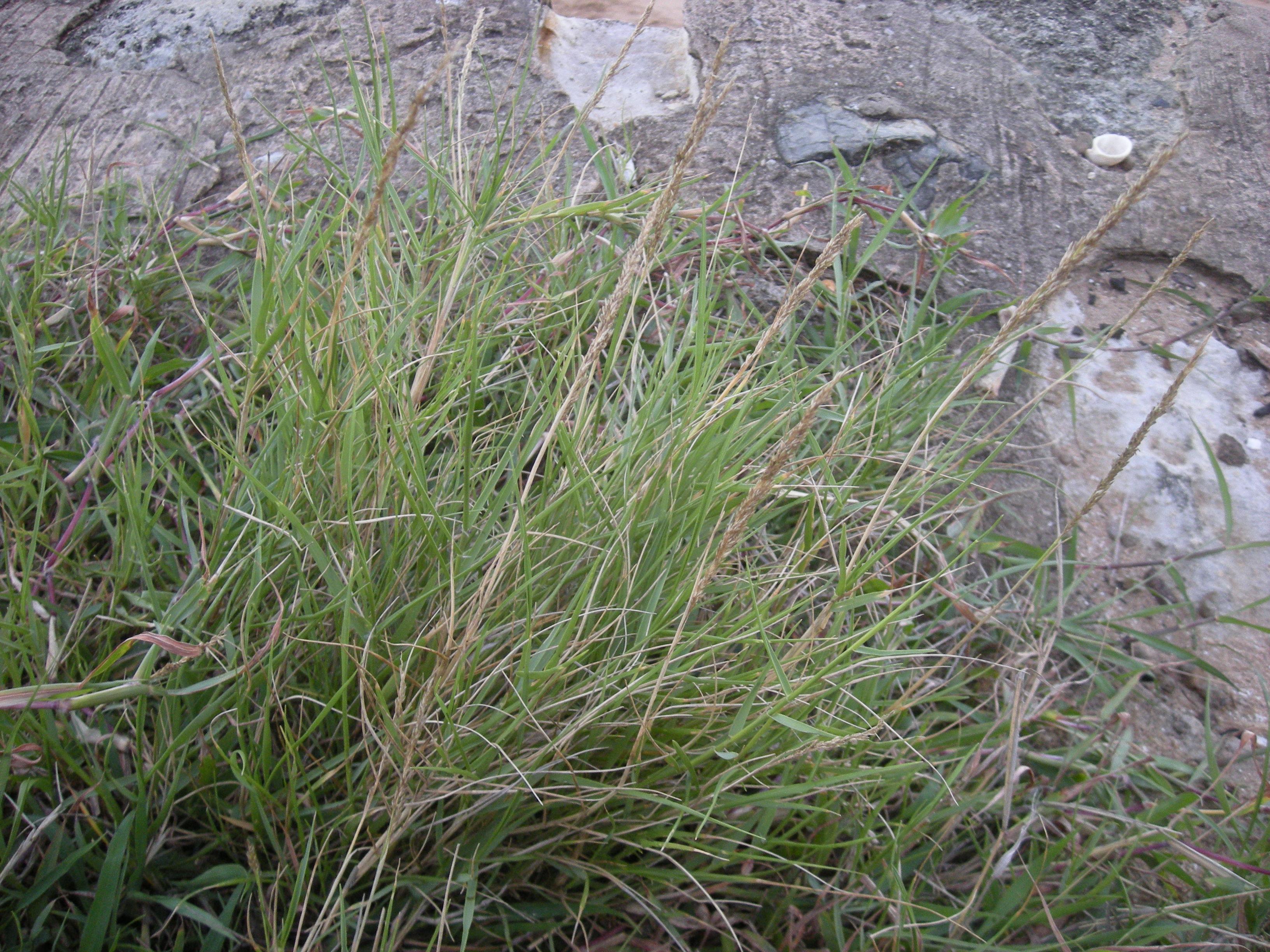 Description Sporobolus virginicus habit jpgSporobolus Virginicus