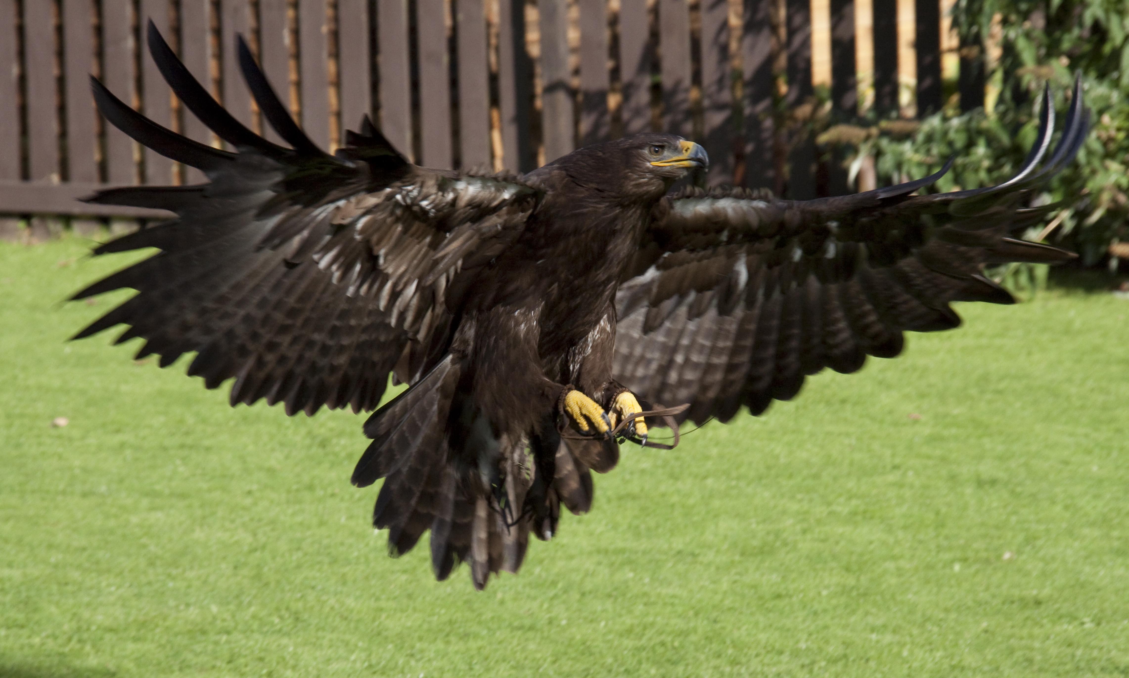 Wikipedia Steppe Eagle File:steppe Eagle Coming Into