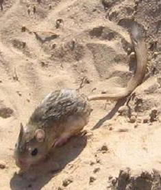 The average litter size of a Thick-tailed three-toed jerboa is 3