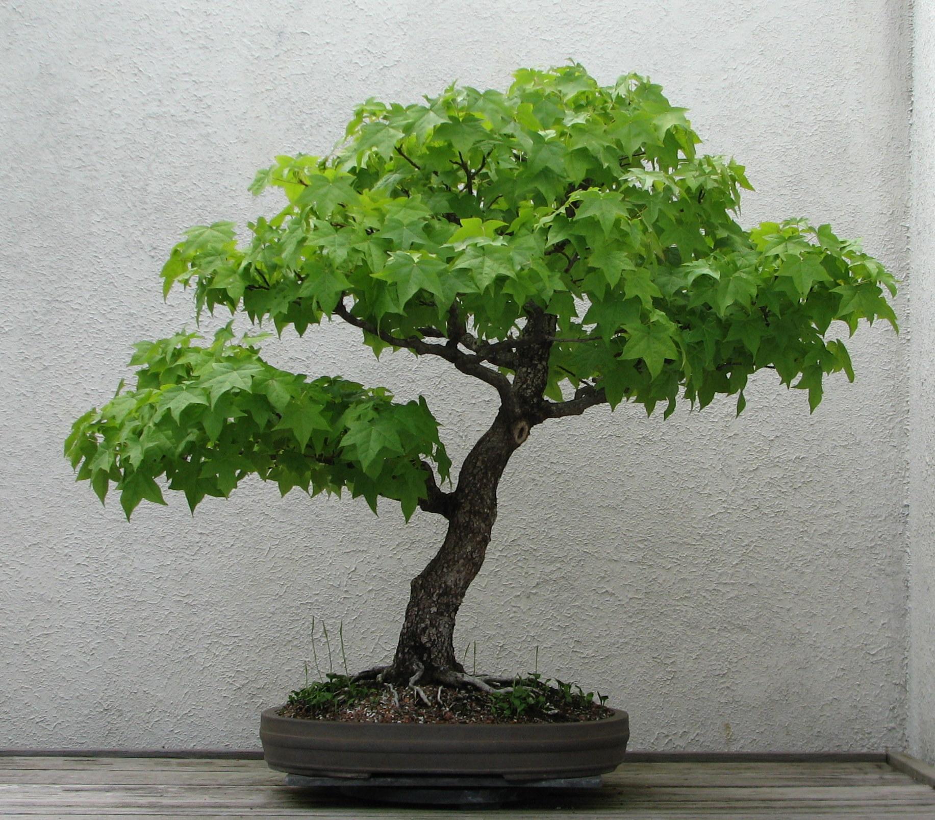I eklerimin bak m bonzai bak m bonsai bak m - Cuidado del bonsai ...