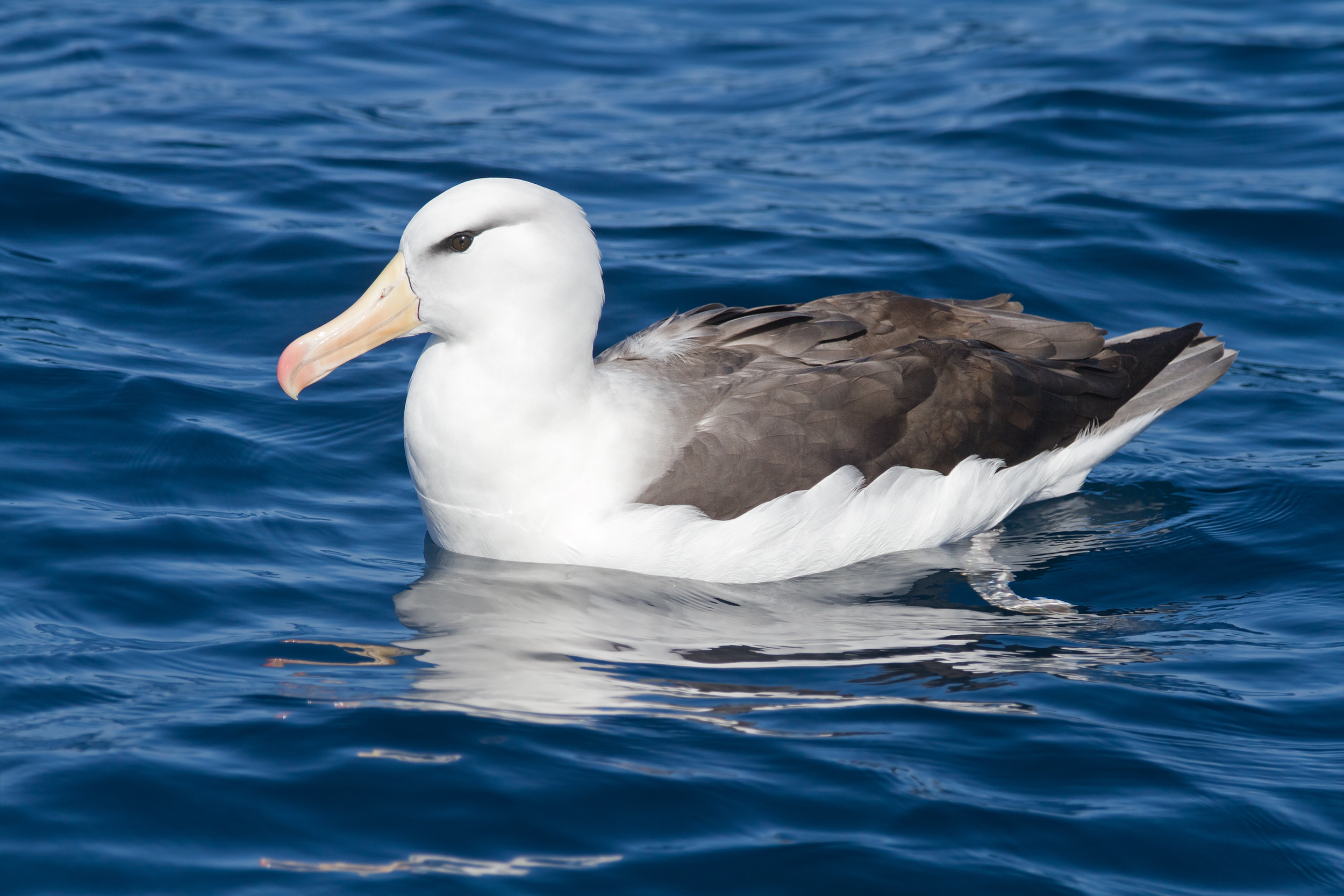 Image result for Albatrosses