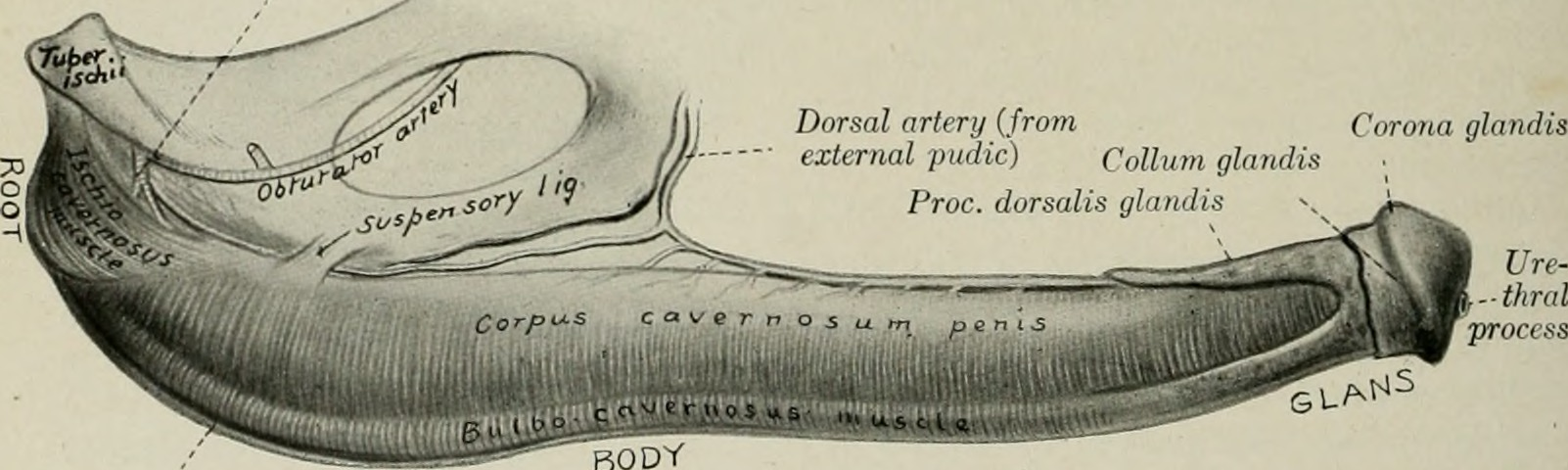 Ficheiro:The anatomy of the domestic animals (1914) (18196622831 ...