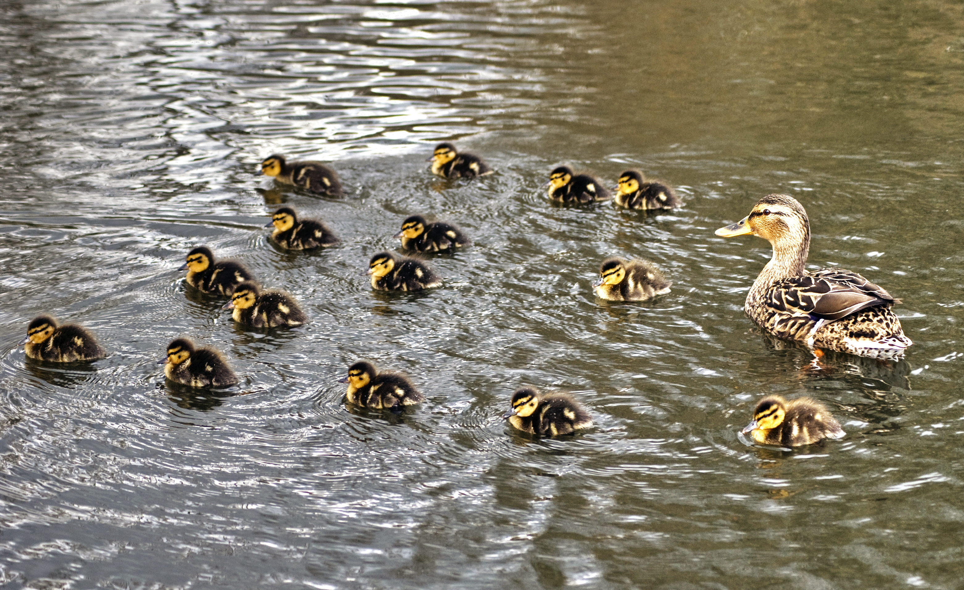 Leader: Duck with ducklings
