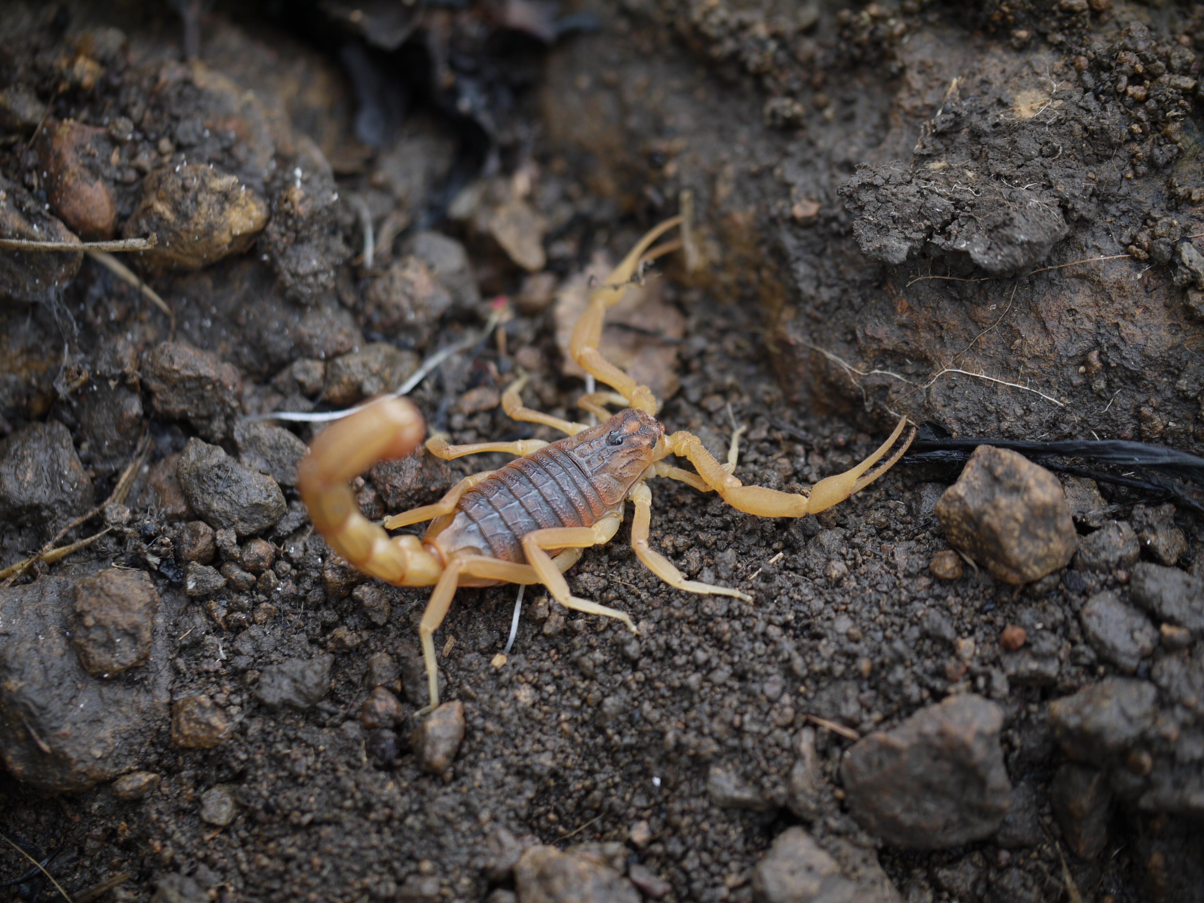 File:... scorpion -- Indian red scorpion - Hottentotta ... - photo#3