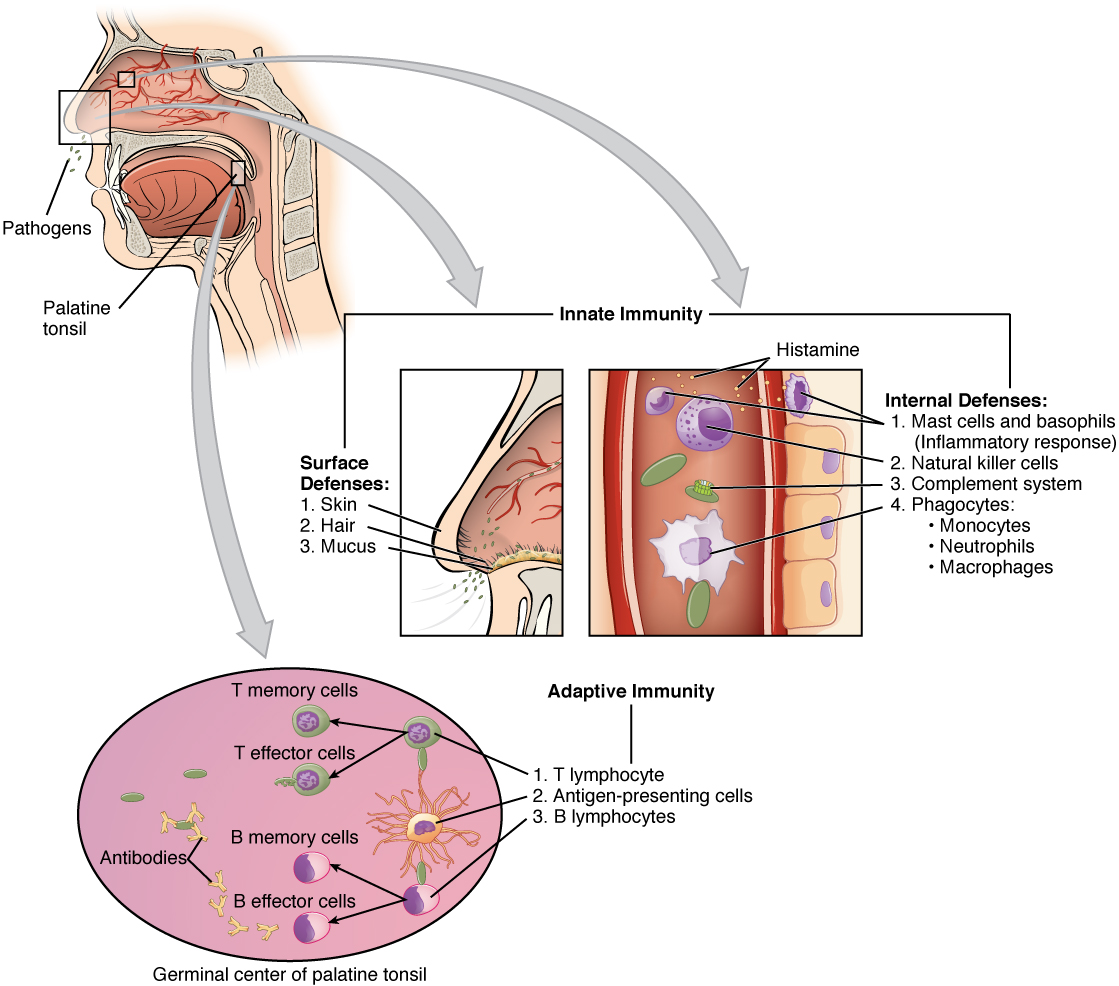relationship between structure and function of alveoli wikipedia