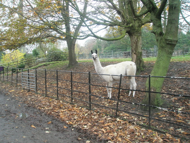 A llama within Staunton Country Park - geograph.org.uk - 1595025