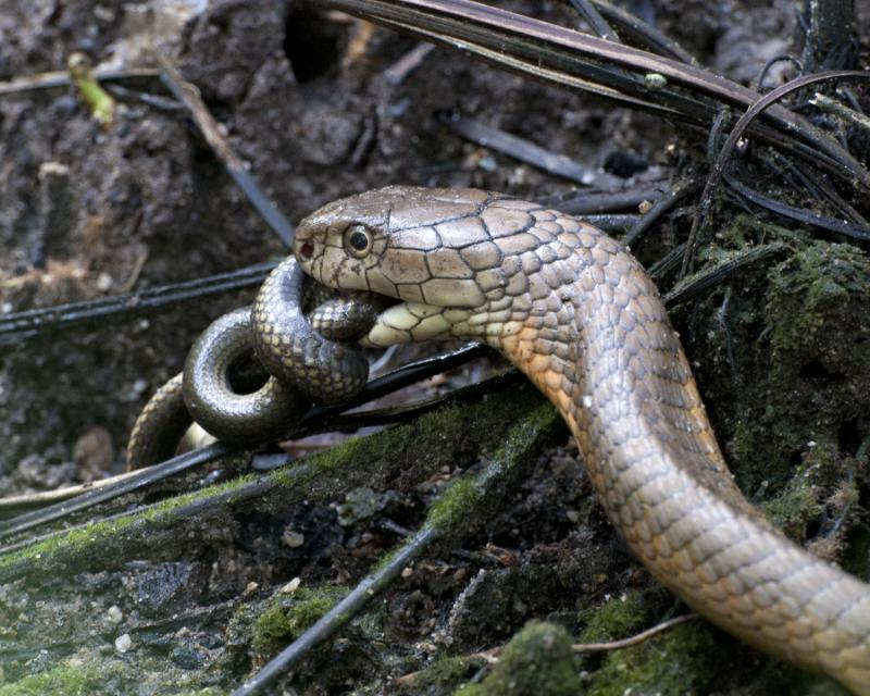 捕食するコブラ