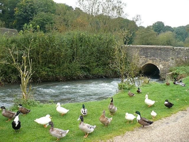 Kačice domáce pri vodnom toku