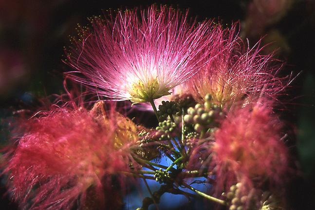arbre de soie en fleur