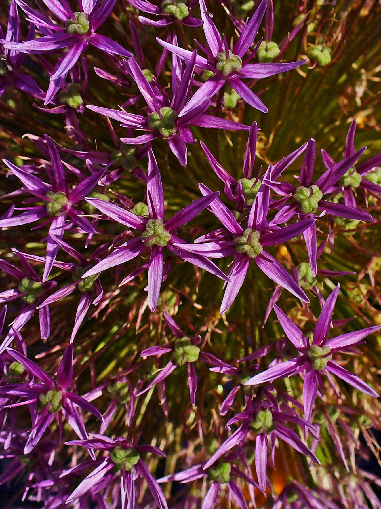 file allium giganteum 002 jpg wikimedia commons. Black Bedroom Furniture Sets. Home Design Ideas