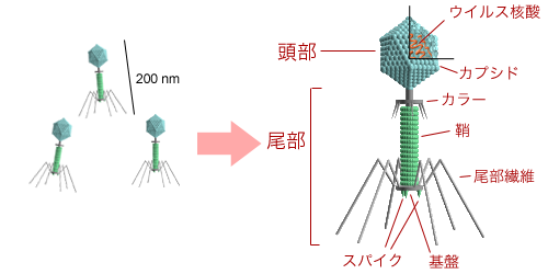 Bacteriophage structure ja.png