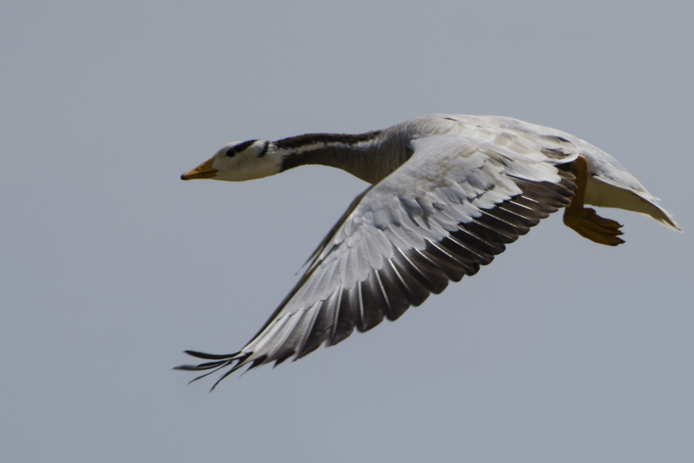 File Bar Headed Goose In Koonthalulam India By Dr