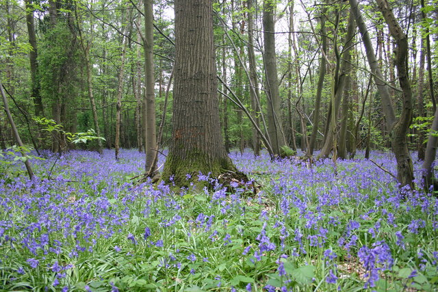 Bluebells in Oakley Woods - geograph.org.uk - 1636213