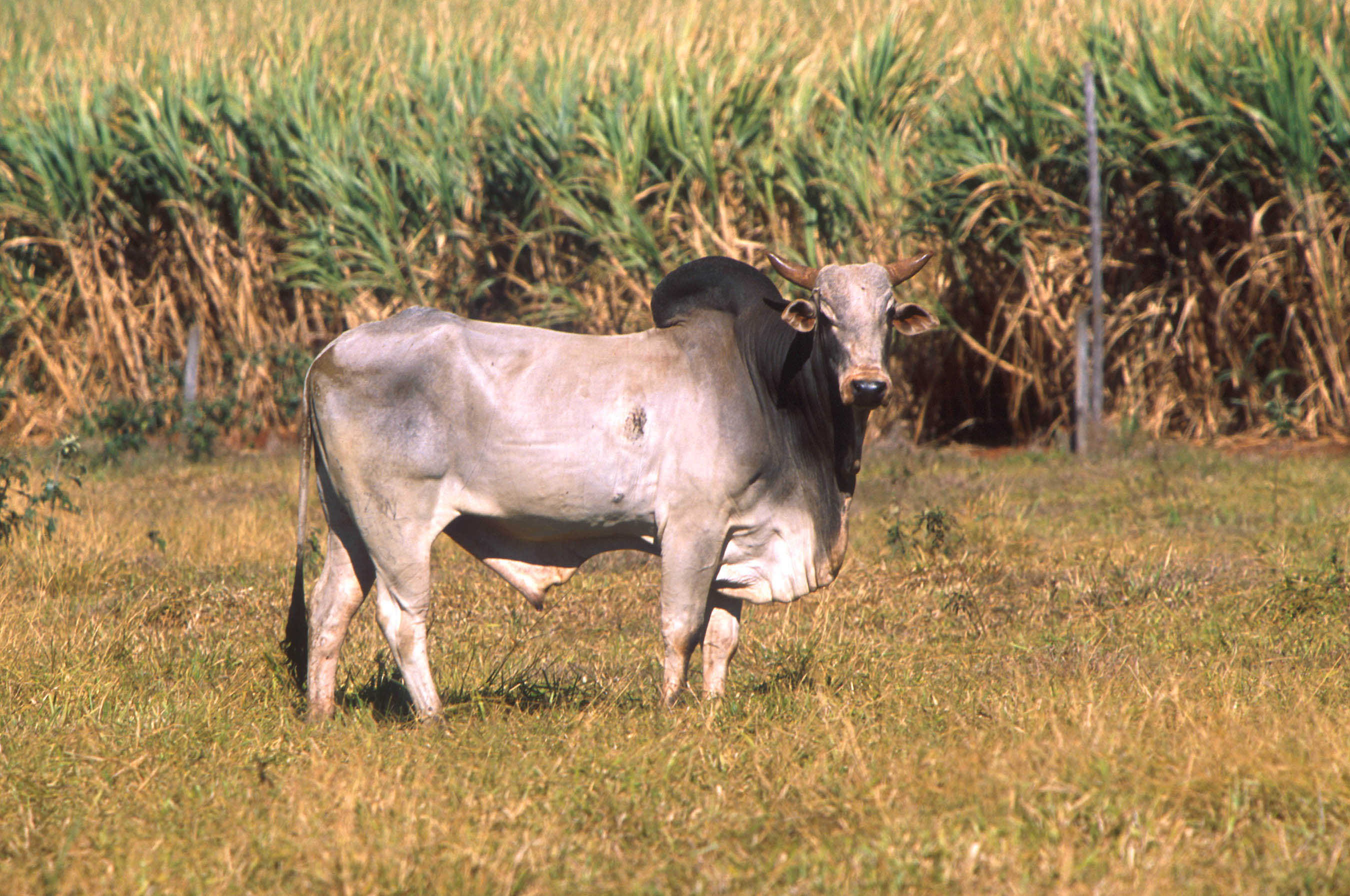 https://upload.wikimedia.org/wikipedia/commons/1/11/Bos_taurus_indicus.jpg