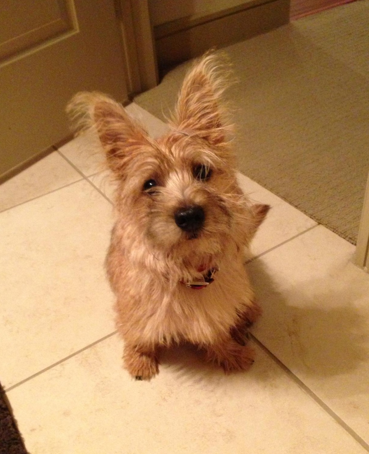 File:Cairn Terrier Puppy jpg - Wikimedia Commons