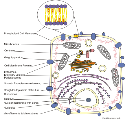 A typical animal cell and its parts