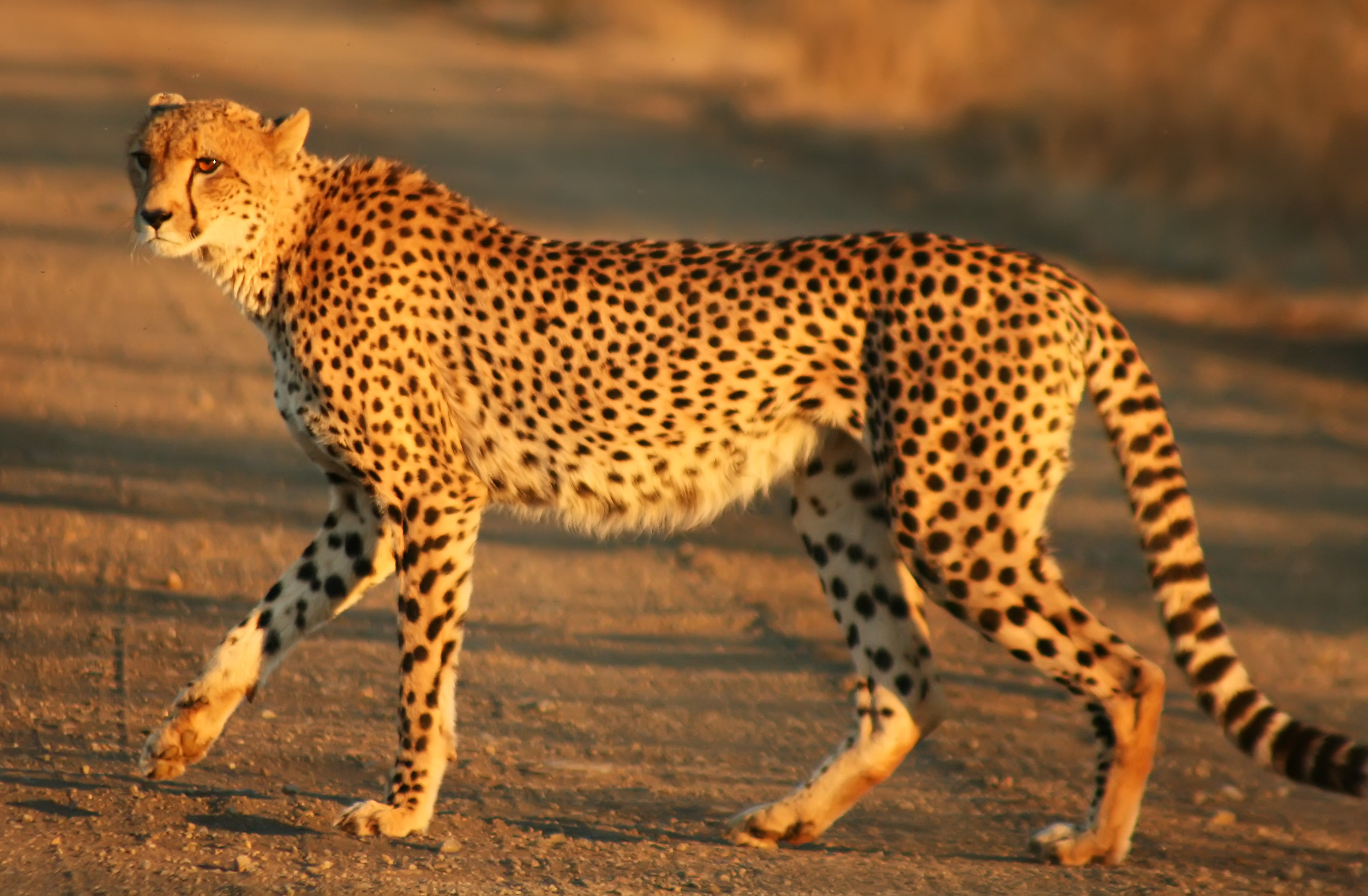 Cheetah - Wikipedia