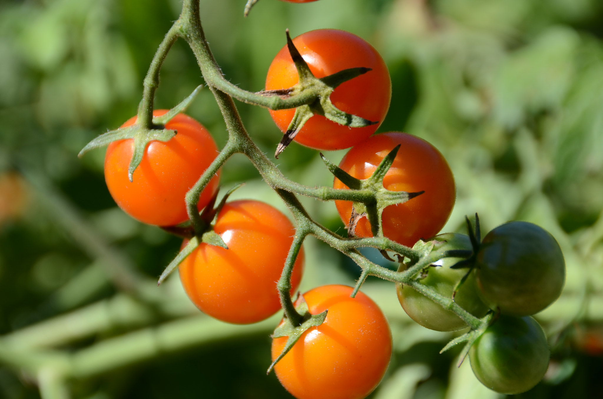 File:Cherry Tomatoes From The Garden (120856447).jpeg - Wikimedia Commons