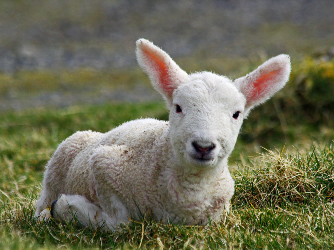 File:Cheviot lamb on the Isle of Lewis.jpg - Wikimedia Commons