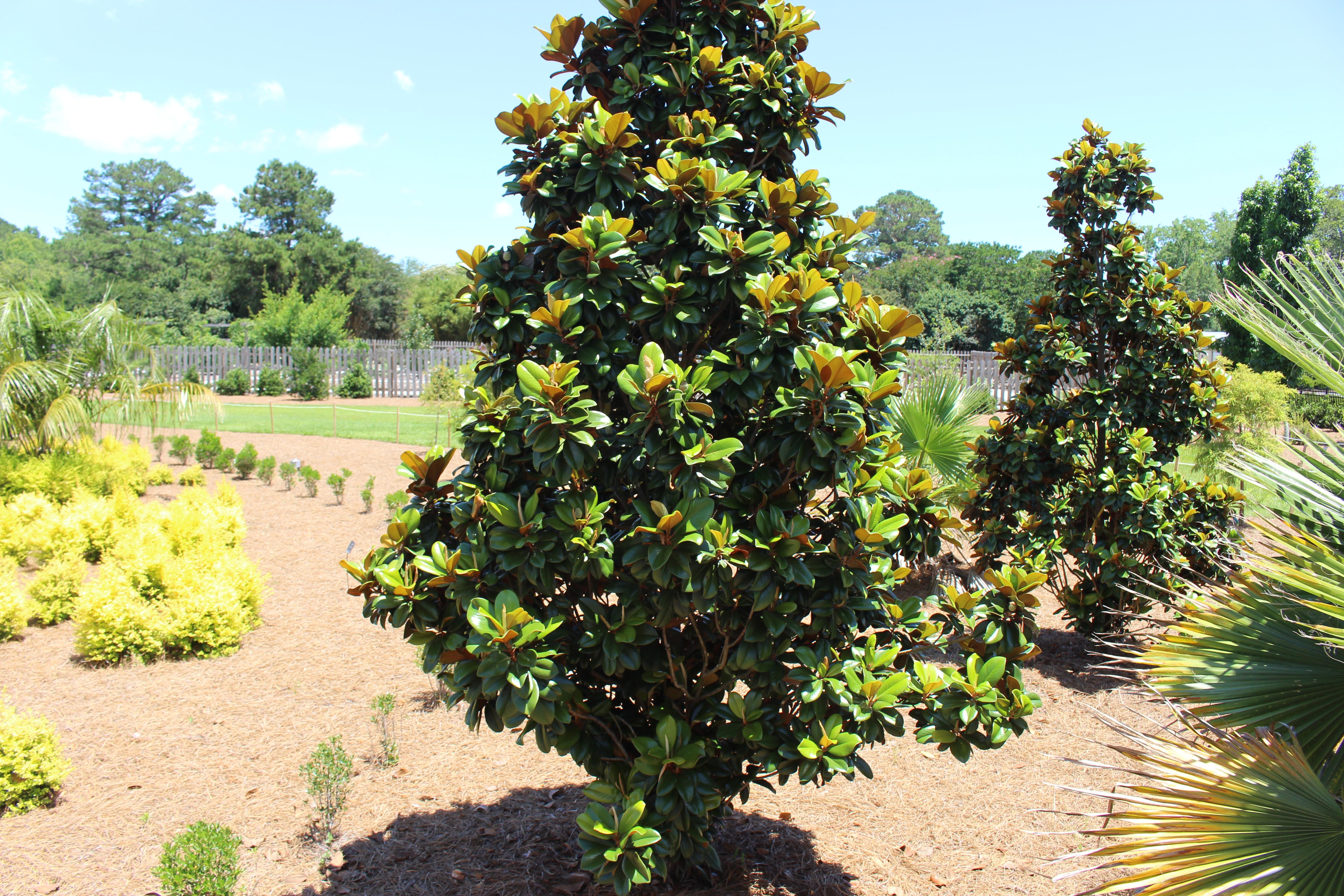 Filecoastal Georgia Botanical Gardens Teddy Bear Southern Magnolia