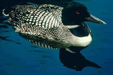 List Of Birds Of Minnesota Wikipedia,Saltwater Fish Tank Ideas