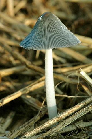 Coprinopsis spec. - Lindsey 2a.jpg