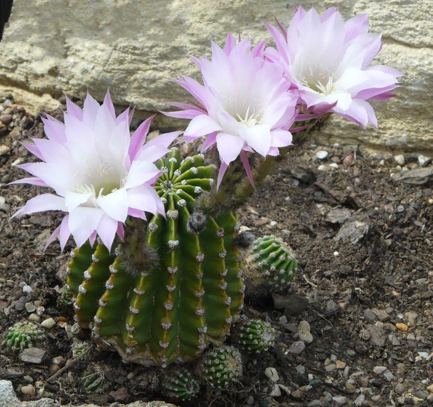 Echinopsis_oxygona_%287%29