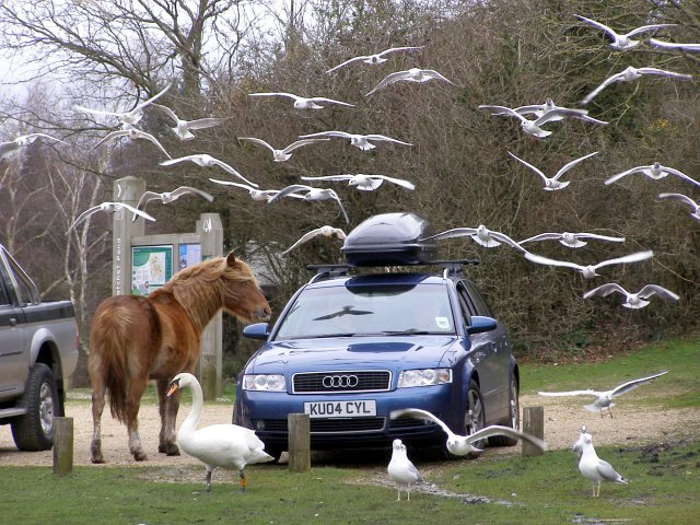 Feeding time at Hatchet Pond, New Forest - geograph.org.uk - 346489