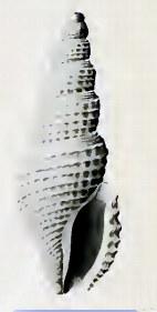 <i>Filodrillia</i> Genus of gastropods