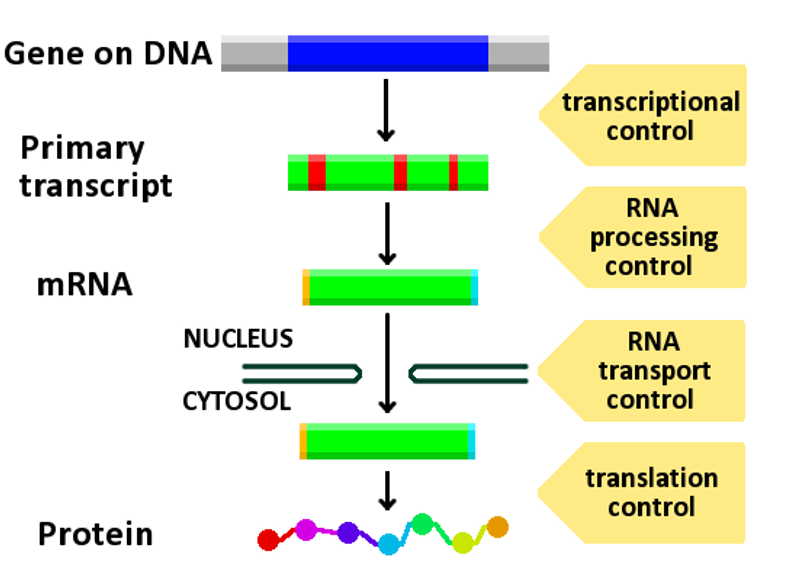 Principles of biochemistryexpression of gene wikibooks open gene expression controlg malvernweather Choice Image