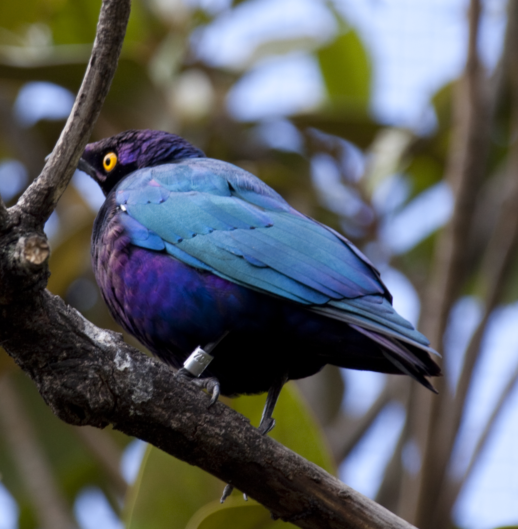 http://upload.wikimedia.org/wikipedia/commons/1/11/Glossy-starling_Blue_and_Purple_Bird_1_(4872698898).jpg