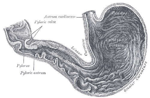 Pylorus wikiwand inside of the stomach pylorus labeled at center left ccuart Image collections