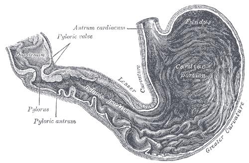 duodenal bulb - wikipedia, Human Body