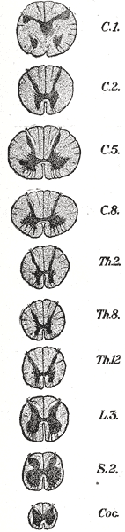 Cross-sections of the spinal cord at varying l...