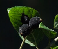 Guettarda uruguensis (palo cruz) fruto